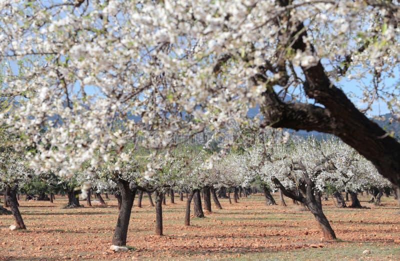 Fält för mandelträd arkivbilder