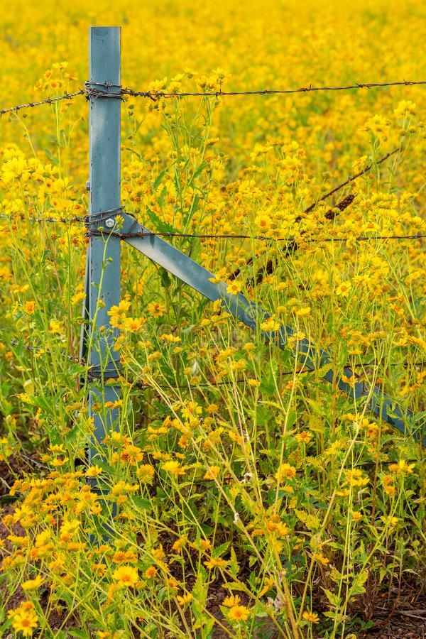 Fält för mexicansk solros med blommor som korsar staketet royaltyfri bild