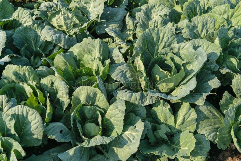 Fält för organiskt lantbruk för vit kål - stora sidor unharvested kål arkivfoton