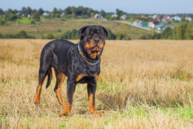 Fält för Rottweiler hundgräs arkivbilder