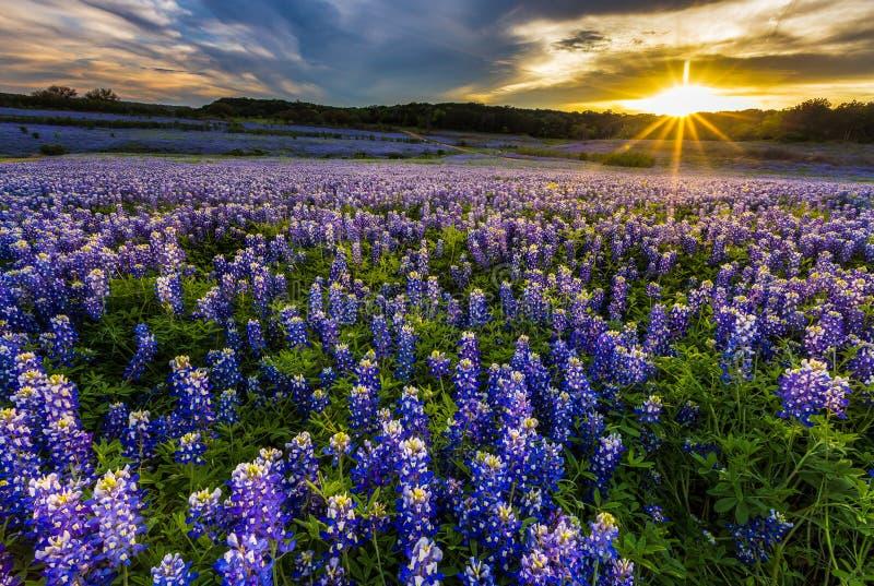 Fält för Texas bluebonnet i solnedgång på Muleshoe krökningrekreationsområde