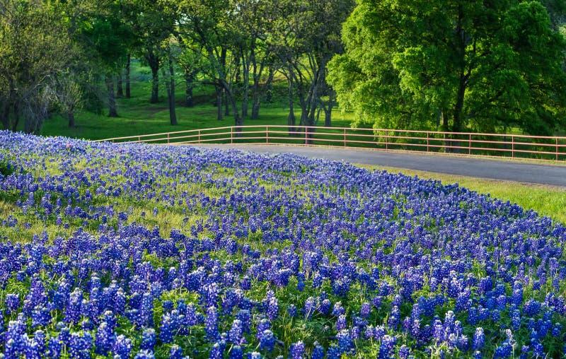 Fält för Texas bluebonnet längs landsvägen royaltyfria foton