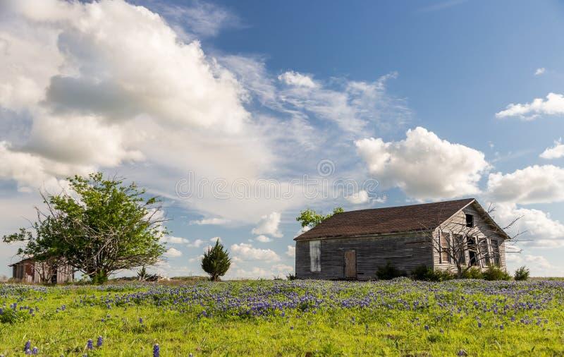 Fält för Texas bluebonnet och gammal ladugård i Ennis royaltyfri bild