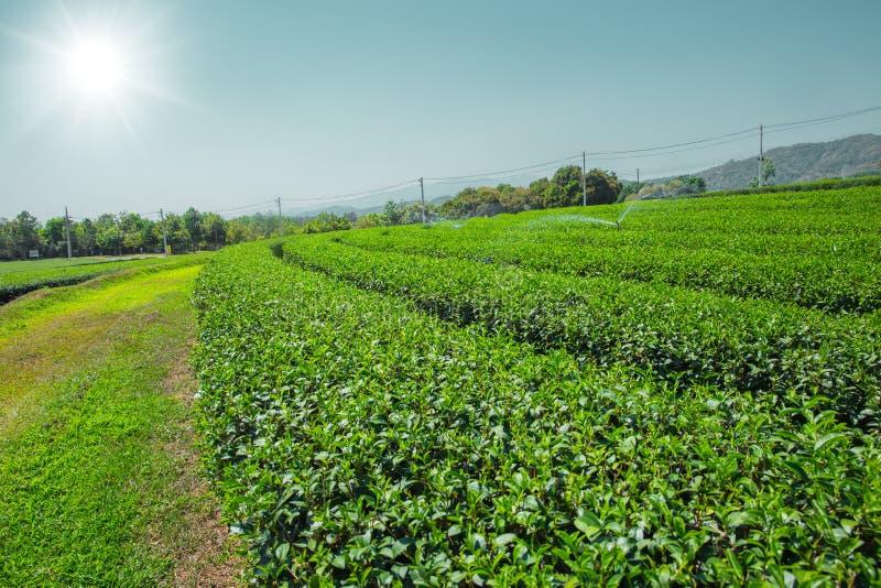 Fält för växt för grönt te åkerbrukt i Chiangrai royaltyfria bilder