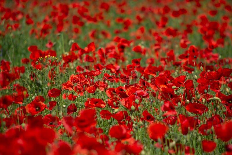 Fält för vallmo` s i sommartid, slut upp med röd oskarp bakgrund royaltyfri foto