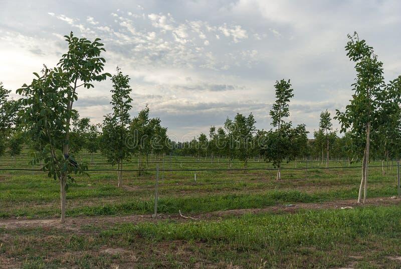 Fält för valnötträd i Raimat på solnedgången royaltyfria bilder