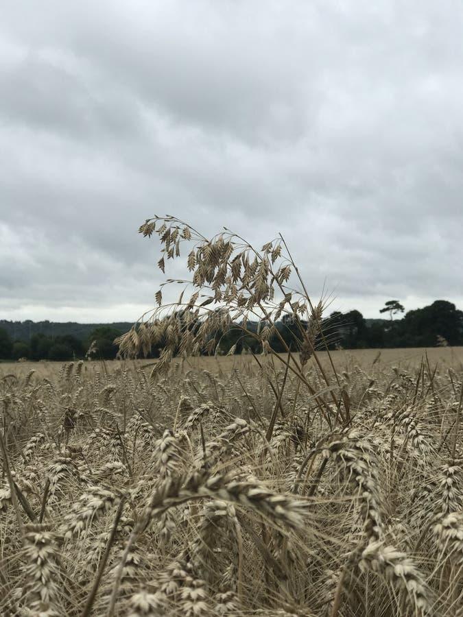fält hö, brunt, full himmel arkivfoto