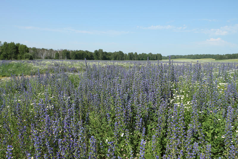 Fält med blåa blommor arkivfoto