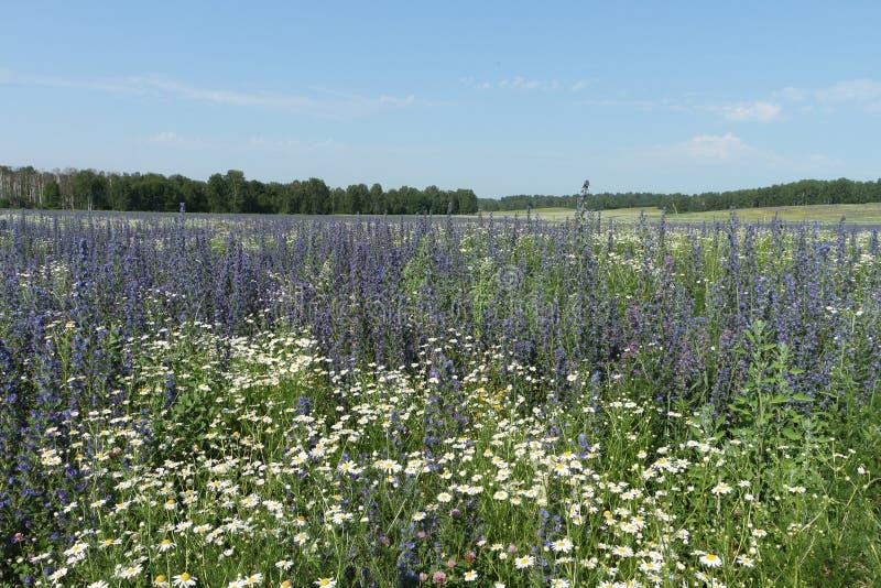 Fält med blåa blommor arkivbild