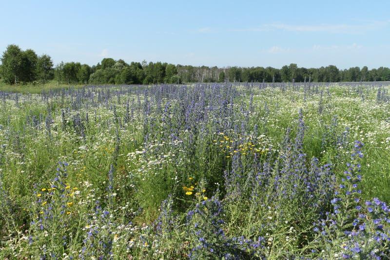 Fält med blåa blommor arkivfoton
