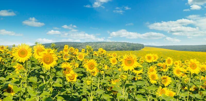 Fält med blommande solrosor och molnig himmel Brett foto arkivfoton