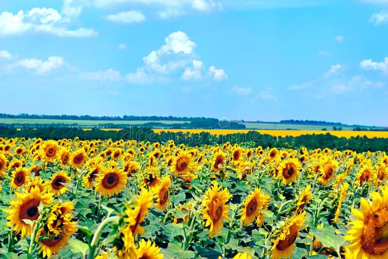 Fält med blommas solrosor, sommarliggande royaltyfri bild