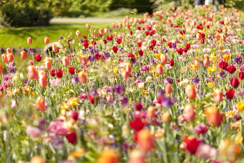 Fält med färgrika holländska blommor royaltyfri foto