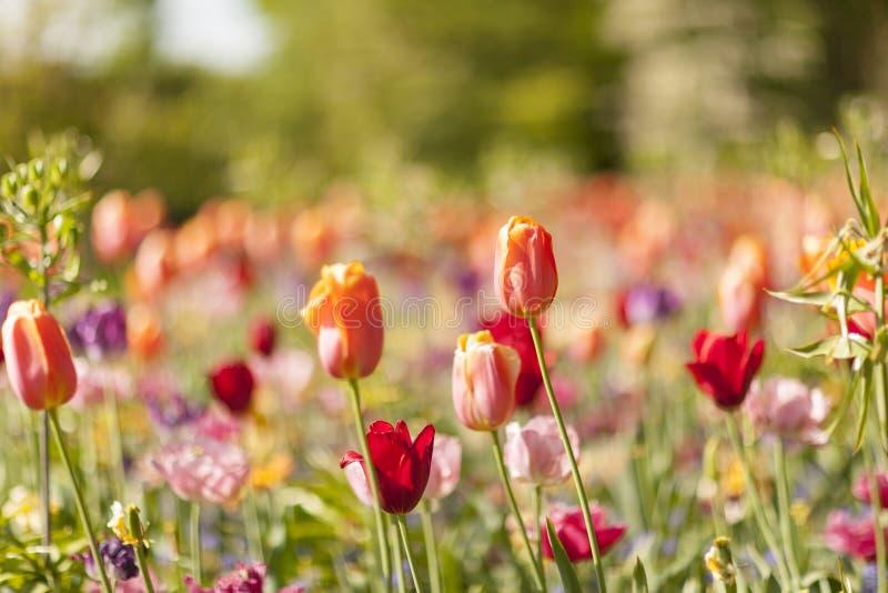 Fält med färgrika holländska tulpan arkivbilder