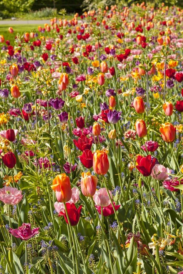 Fält med färgrika holländska tulpan fotografering för bildbyråer