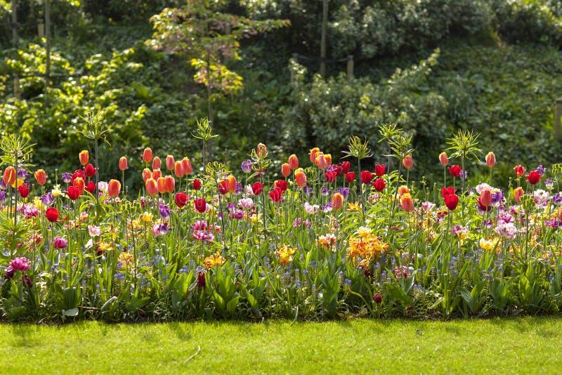 Fält med färgrika holländska tulpan royaltyfria bilder