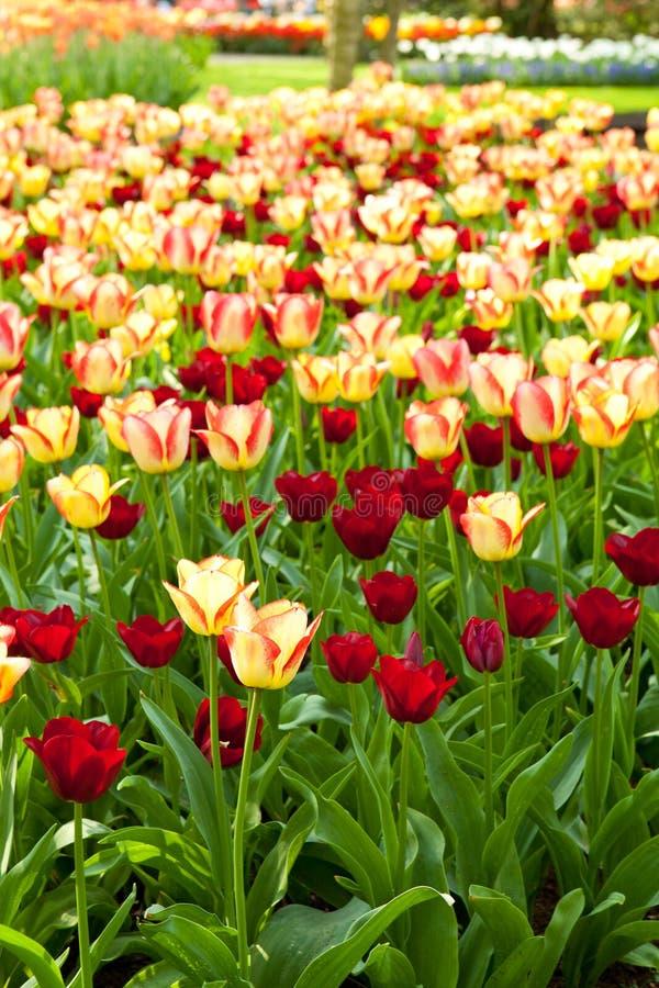 Fält med färgrika holländska tulpan royaltyfri foto