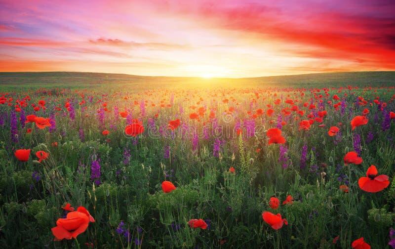 Fält med gräs, violetblommor och röda vallmo arkivbilder