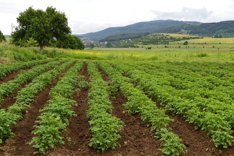 Fält med gröna potatisväxter arkivbilder