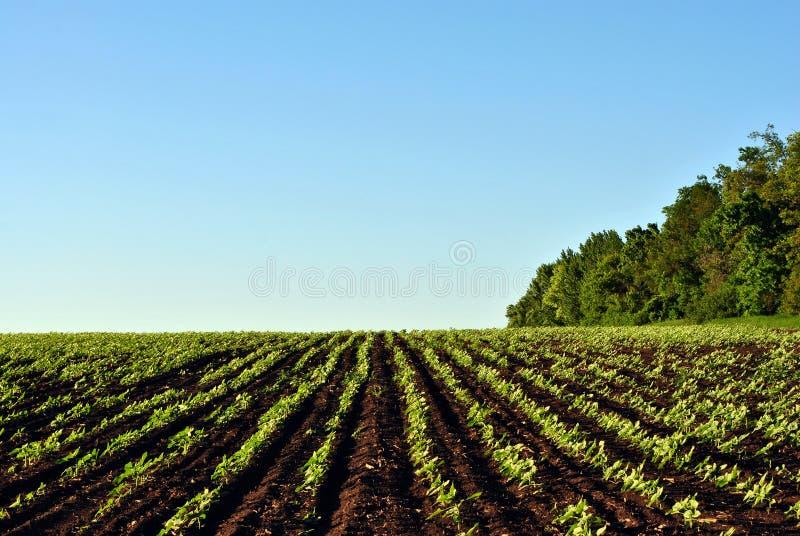 Fält med gröna solrosväxtrader på kullarna nära linjen av träd, blå himmel royaltyfria bilder