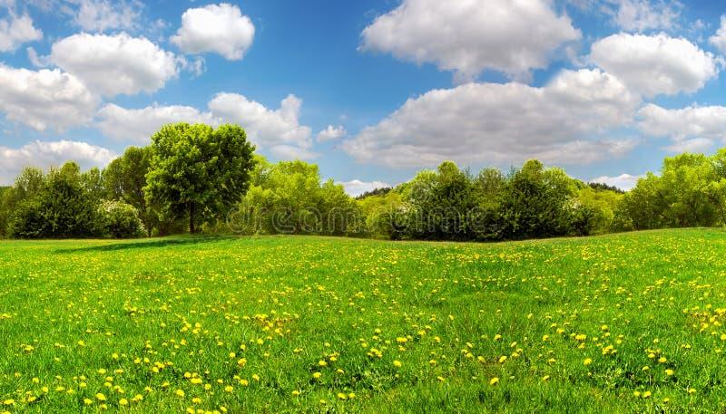 Fält med gula maskrosor och blå himmel arkivbilder