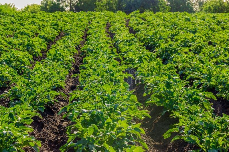Fält med kolonin av potatisar arkivfoto