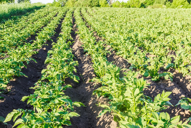 Fält med kolonin av potatisar arkivbilder