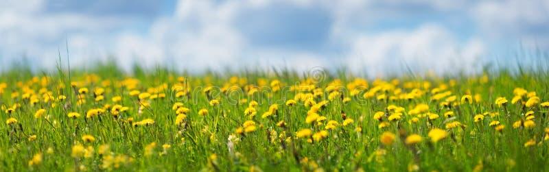 Fält med maskrosor och blå himmel royaltyfri fotografi