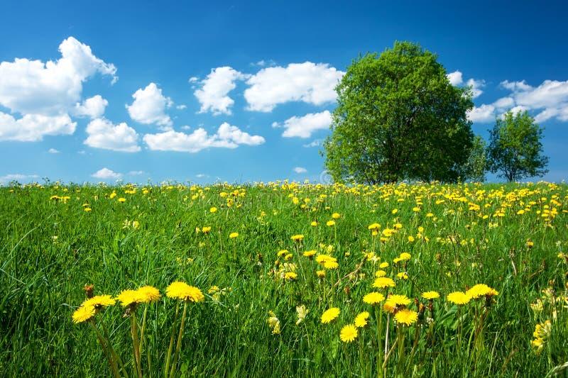 Fält med maskrosor och blå himmel arkivfoto