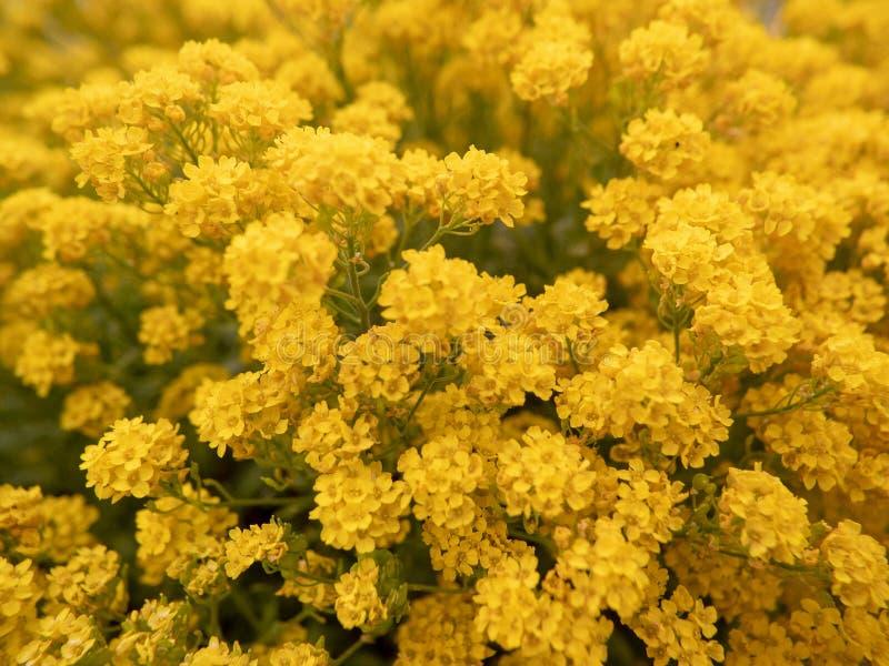 Fält med massor av gula blommor arkivbild