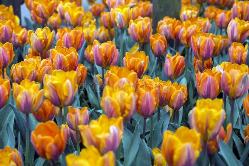 Fält med orange tullips royaltyfria bilder