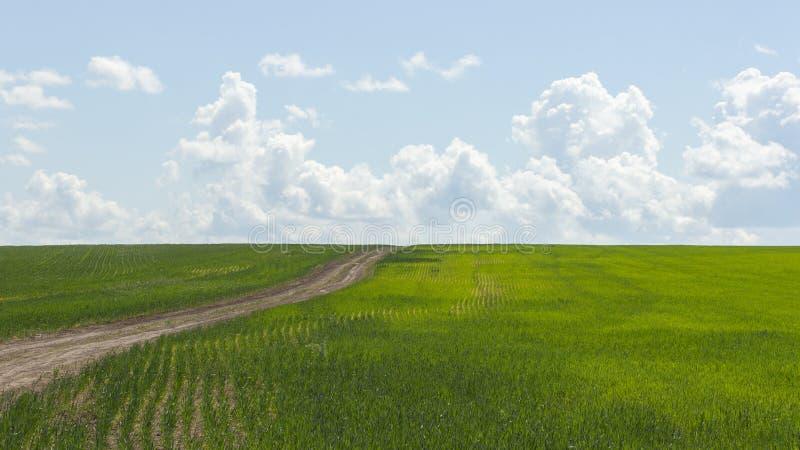 Fält med råg för groddar för vintervete, unpaved väg som lämnar in i avståndet Kornskördar, bygd, jordbruks- växter arkivbild