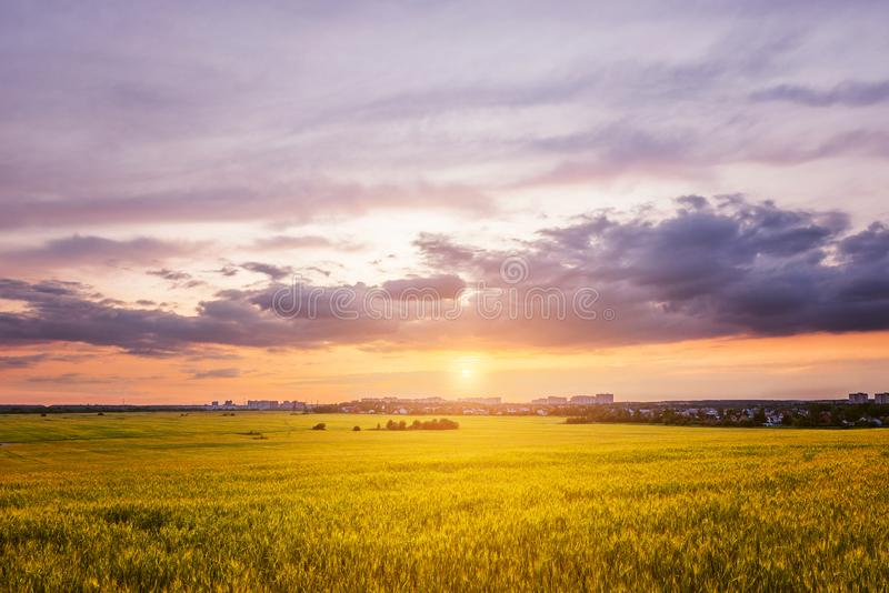 Fält med råg på solnedgångtid royaltyfri bild