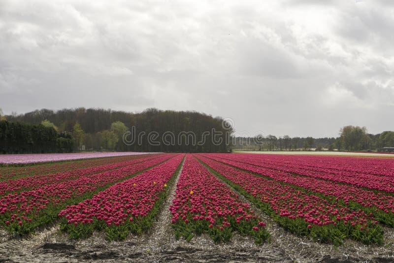 Fält med röda tulpan arkivbild