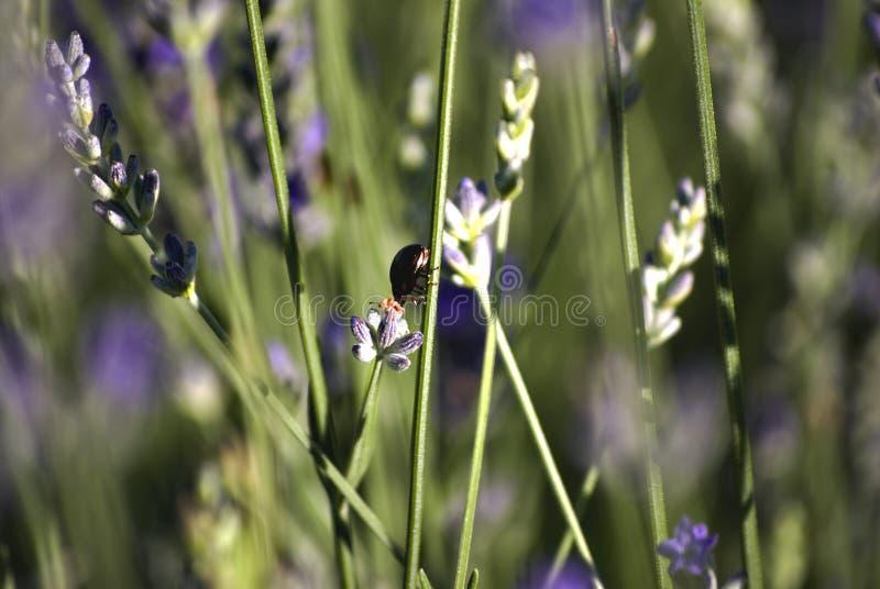 Fält med rader av lavendel, med ett kryp över en blomma Bokeh Närbild royaltyfria bilder