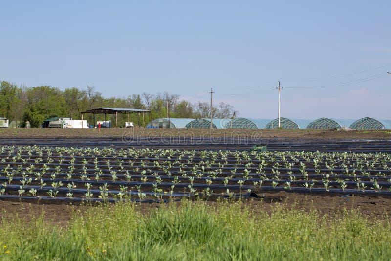 Fält med tidiga kålplantor i öppet fält fotografering för bildbyråer