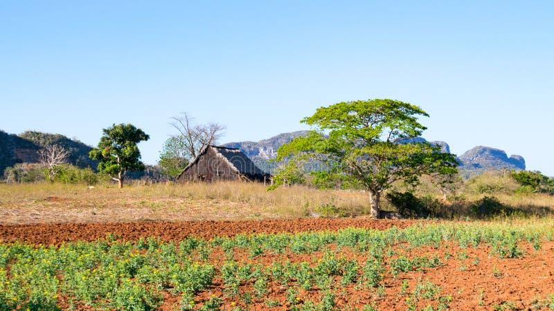 Fält med tobakväxter i den Vinales dalen royaltyfria foton