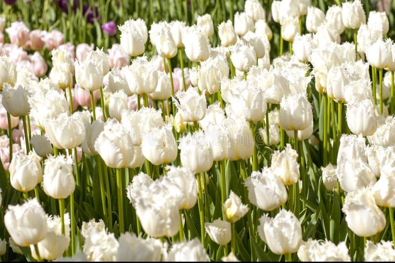 Fält med vita holländska tulpan fotografering för bildbyråer