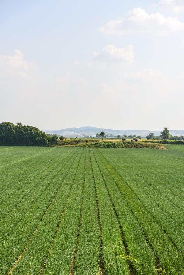Fält nära Voghera arkivfoton