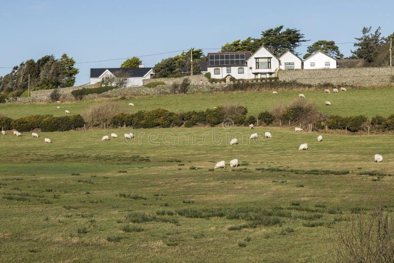 Fält som betar i fält nära Llanfaelog på Anglesey, Wales royaltyfria foton