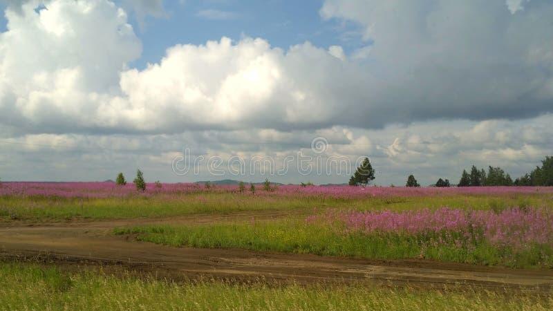 Fält som blomstrar rosa färger: pil-te härliga stackmolnmoln fotografering för bildbyråer