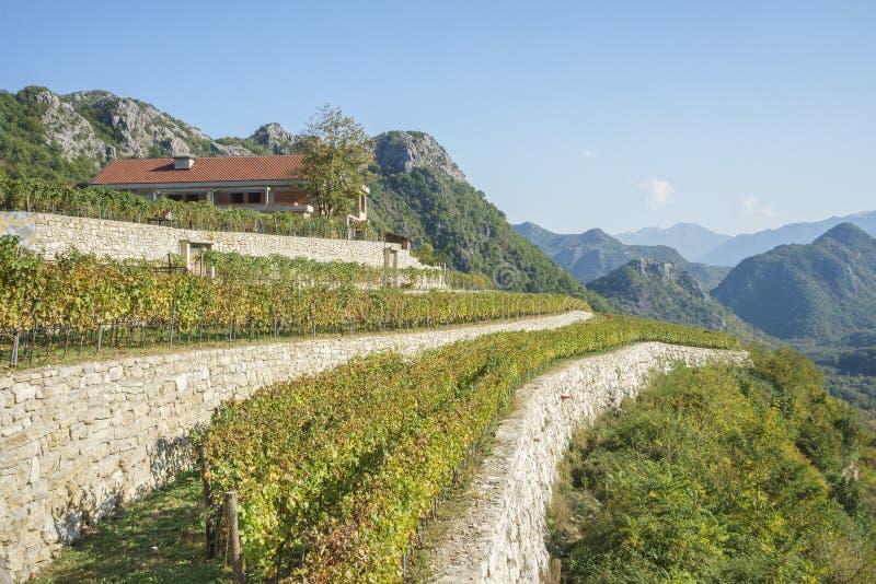 Fält som planteras med vingårdar royaltyfri fotografi