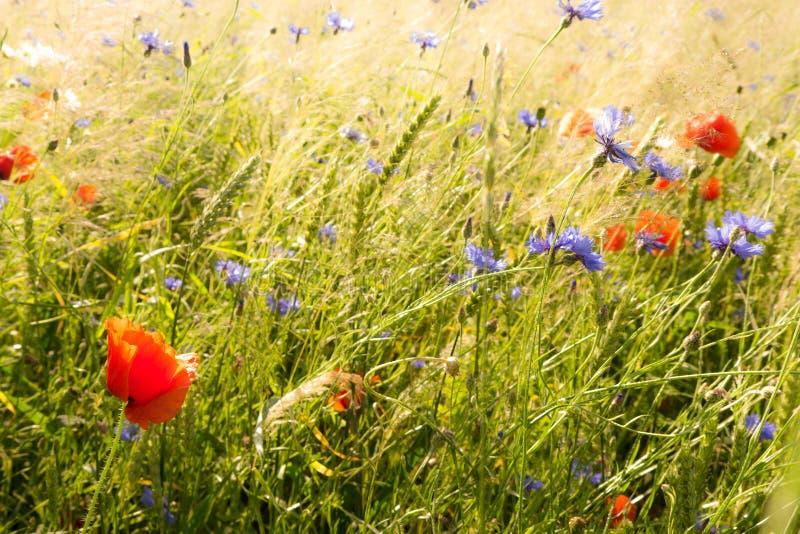 Fältblommor fotografering för bildbyråer