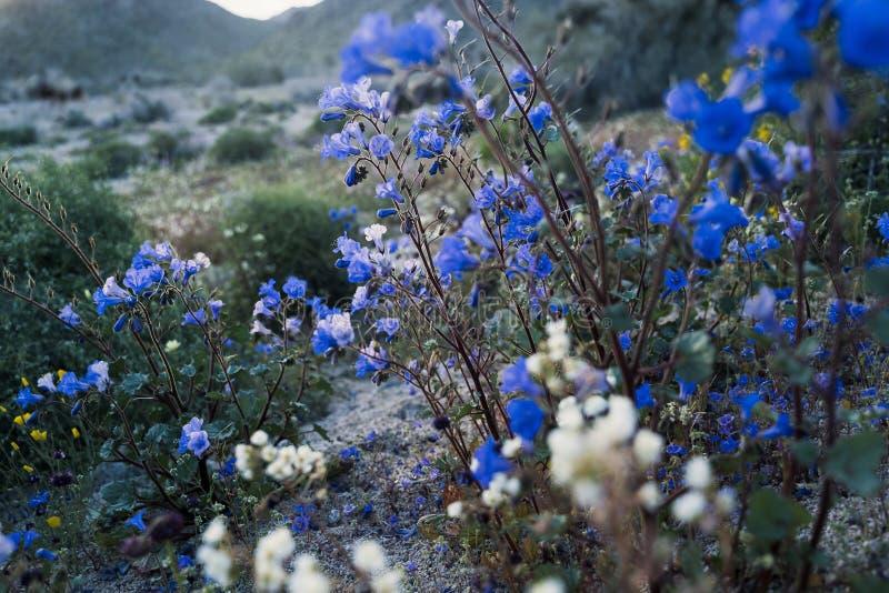 Fältet av Canterbury Sätter en klocka på vildblommor med andra blandade ökenblommor i Joshua Tree National Park under Kalifornien arkivbilder