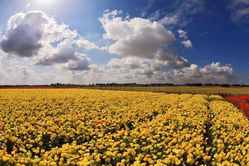 Fältet av den ljusa gula ranunculusen royaltyfri fotografi