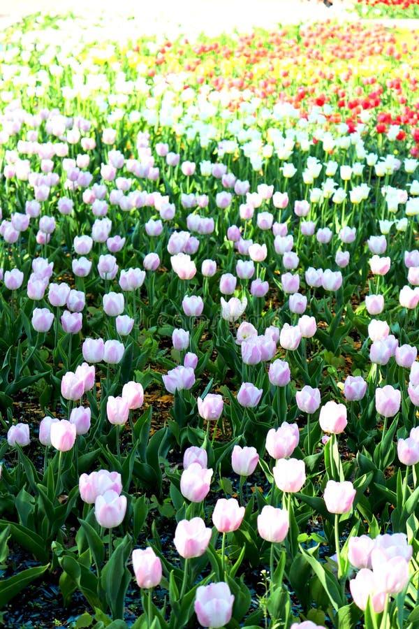 Fältet av färgrika tulpan royaltyfria bilder
