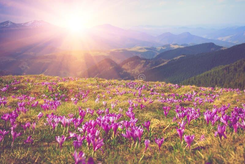 Fältet av först att blomma våren blommar krokus, så snart som snö stiger ned på bakgrunden av berg i solljus arkivbild