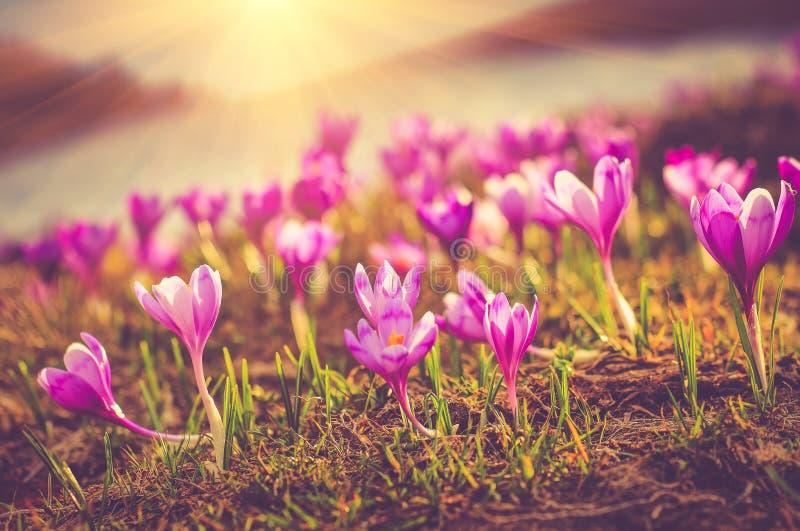 Fältet av först att blomma våren blommar krokus, så snart som snö stiger ned på bakgrunden av berg i solljus royaltyfri bild