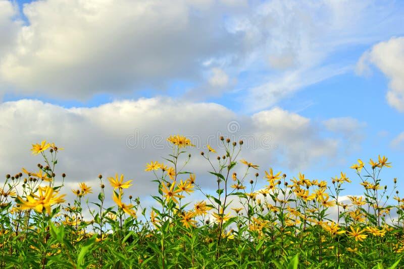 Fältet av guling blommar den Jerusalem kronärtskockan arkivfoto
