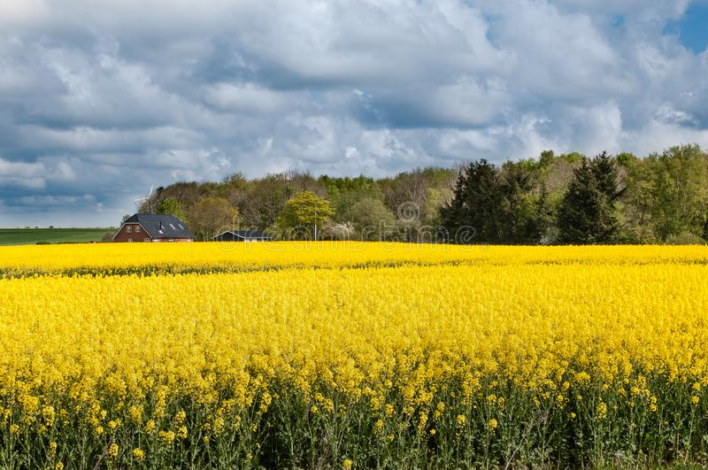Fältet av guling blommar i Danmark royaltyfri bild